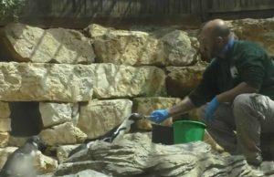 """האכלת פינגווינים בגן החיות התנ""""כי (צילום: יערה פורסט תמרי)"""