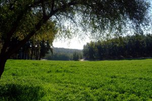 """יער בן שמן (צילום: אבי חיון, ארכיון הצילומים של קק""""ל)"""