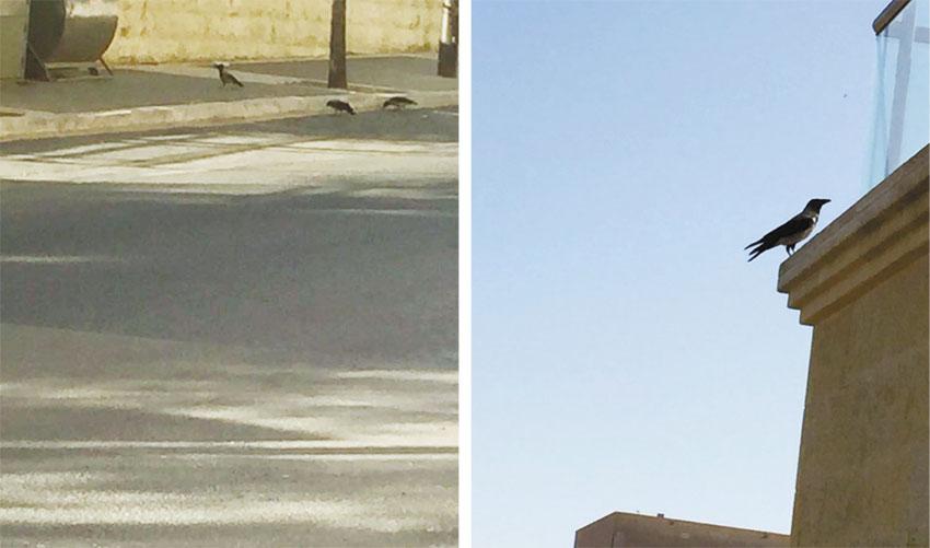 עורבים (צילומים: תהילה תושבת השכונה)