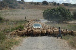 """""""הנאשם טען כי שילם עבור רכישת הכבשים"""" (צילום: ורד נבון. מתוך אתר פיקיוויקי)"""