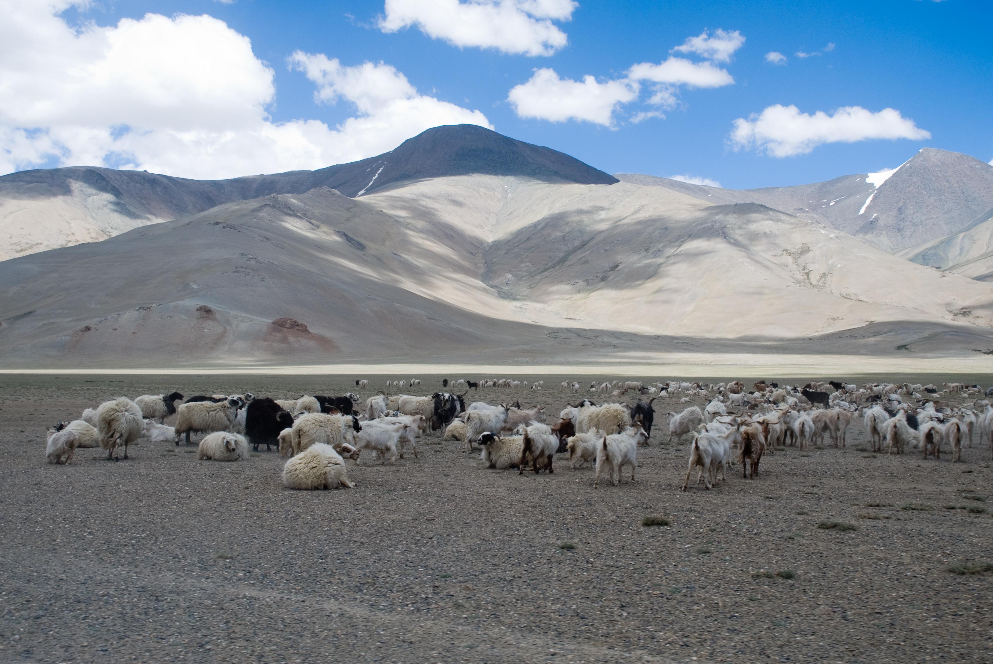 תרמית הכבשים והאוטובוס (צילום: קיראן ג'ונהלגדה)