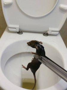 עכברוש בגן הילדים בפסגת זאב
