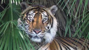 תצוגת הנמרים בגן החיות (צילום: פרטי)
