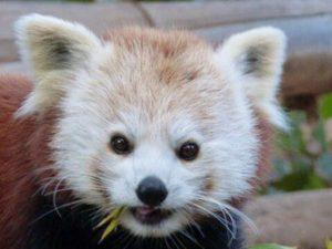 הפנדה האדומה בגן החיות (צילום: פרטי)