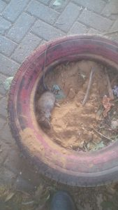 עכבר בגן הילדים בפסגת זאב