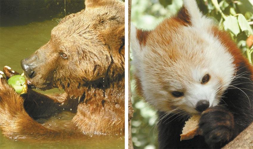 הפנדה האדומה והדוב בשעת ארוחה (צילומים: יער תמרי)
