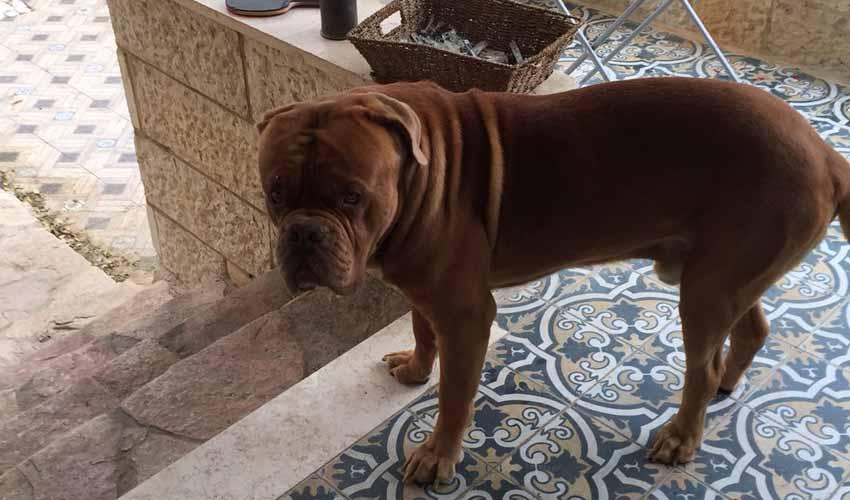 הכלב ברונו (צילום: באדיבות המשפחה)
