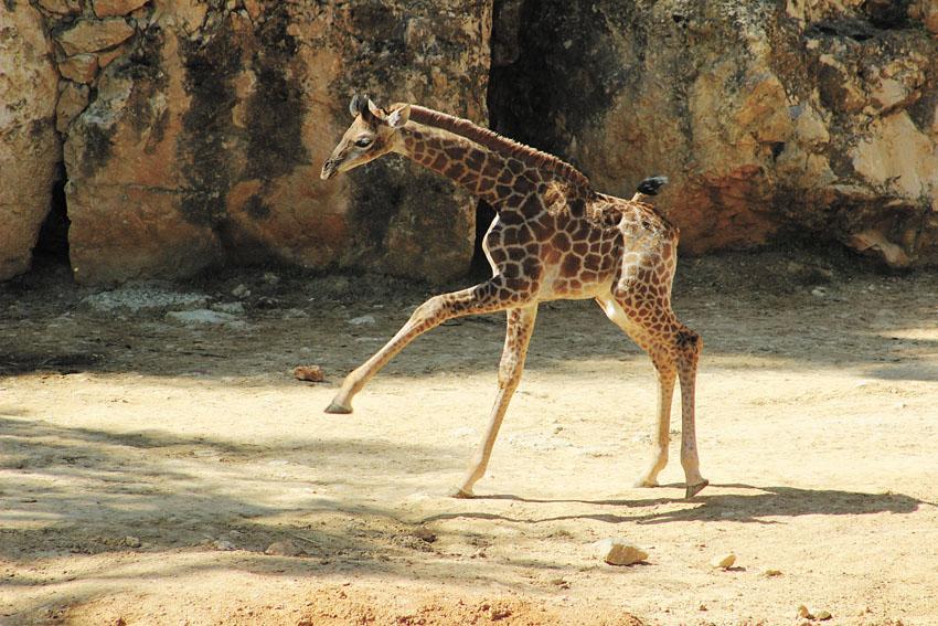 ג'ירפה בגן החיות התנכי (צילום: שי בן עמי)