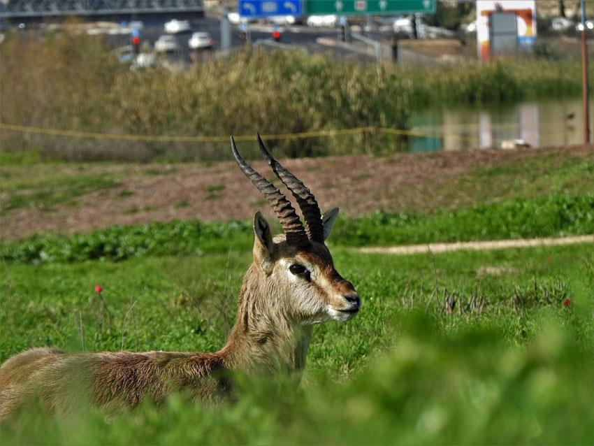 צבי על רק כביש בגין (צילום: ארז עמיר)