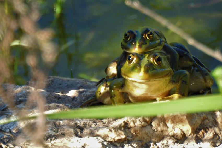 צפרדעים, עמק הצבאים (צילום: ארז עמיר)