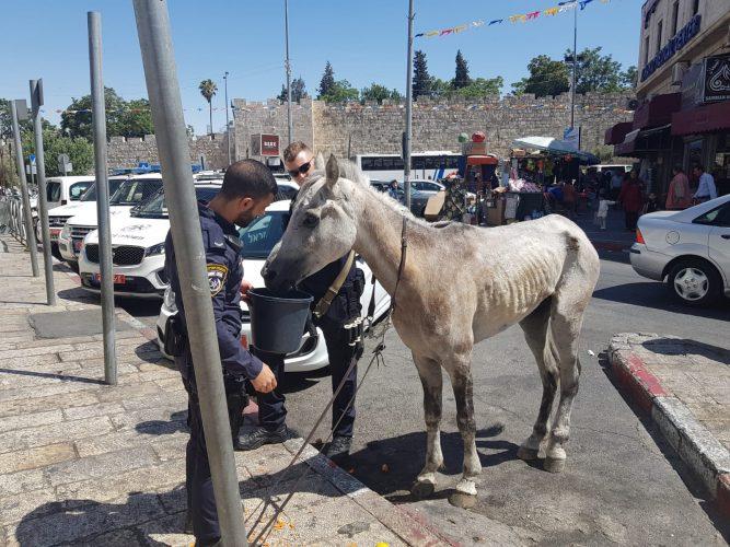 סימני אלימות והזנחה: שוטרים הצילו סוס שסבל מהתעללות קשה סמוך לעיר העתיקה