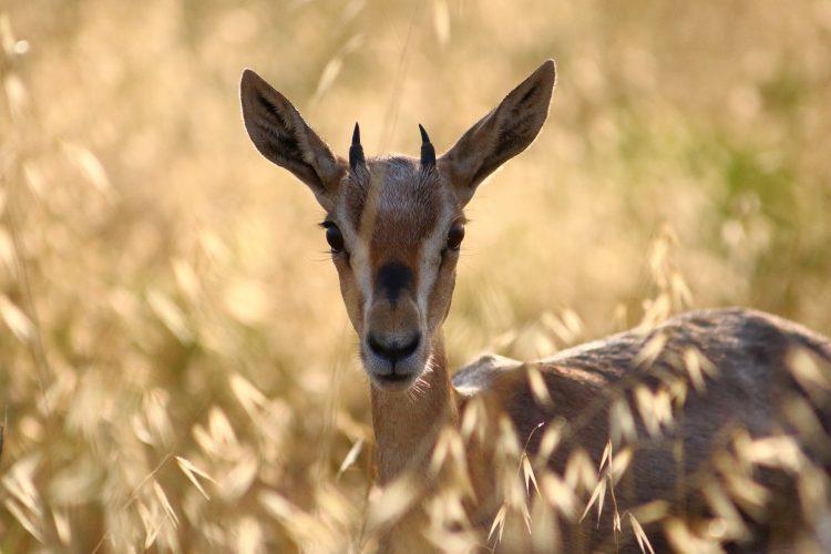 צביה בפארק עמק הצבאים (צילום: ארז עמיר)