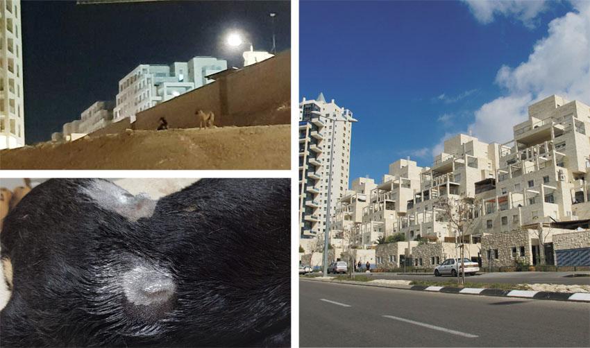 הר חומה, כלב שהותקף בהר חומה, כלבים משוטטים (צילומים: מיכאל יעקובסון, פרטי)