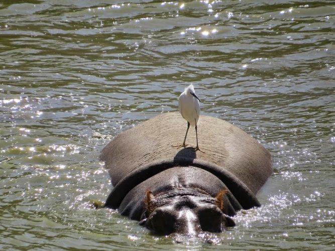 תמי ההיפופוטמית (צילום: ניצן בן נון נחום)