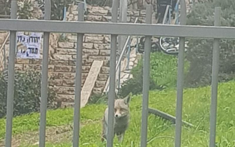 שועל בחצר בית בשכונת רמות (צילום: פרטי
