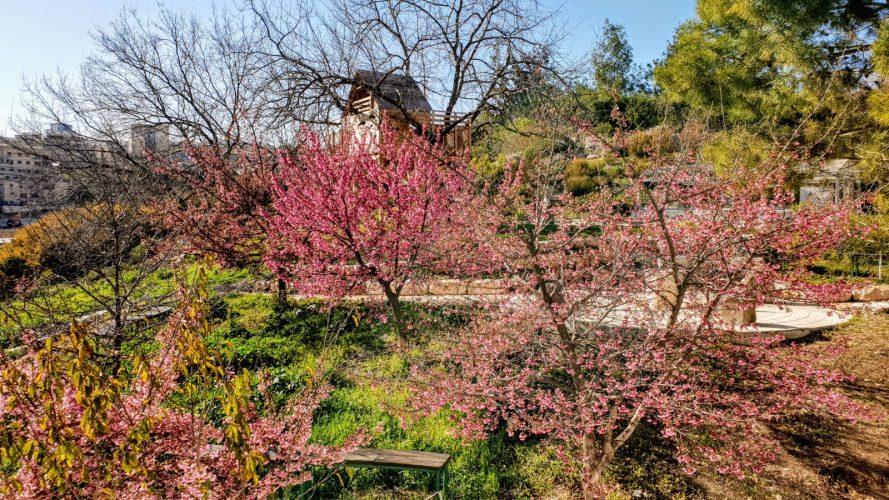 """פריחת הדובדבן בגן הבוטני בירושלים (צילום: תום עמית, מנכ""""ל הגן הבוטני)"""