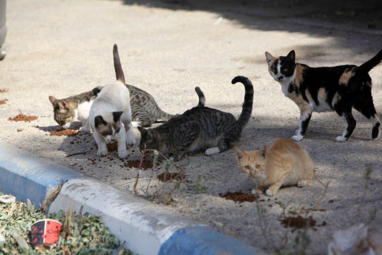 חתולי רחוב (צילום: אליהו הרשקוביץ)