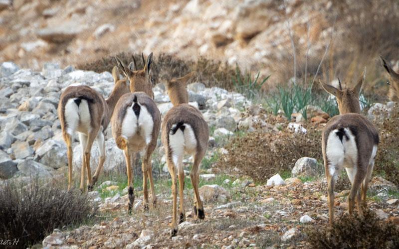 צבאים באתר הטבע העירוני נחל זמרי בצפון ירושלים (צילום: נתי הוכנר)