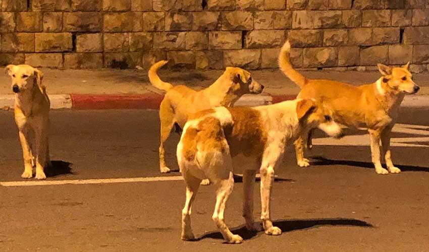 להקות כלבים בגילה (צילום: פרטי)
