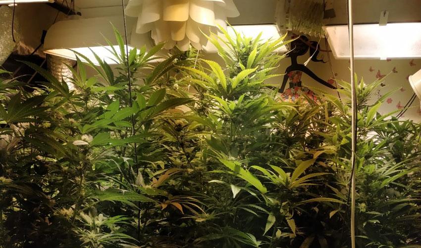 עציצי קנאביס בדירה (צילום: דוברות המשטרה)