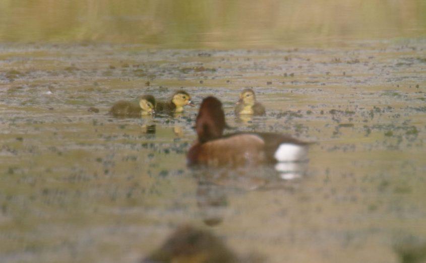 שלישיית האפרוחים (צילום: עמיר בלבן, החברה להגנת הטבע)