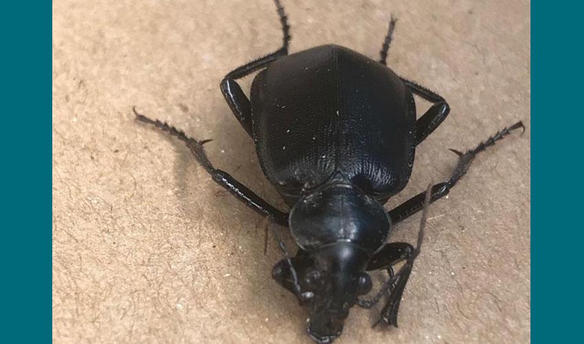 """חיפושית רצנית אוליביה (צילום: ד""""ר אורי שלום, המשרד להגנת הסביבה)"""