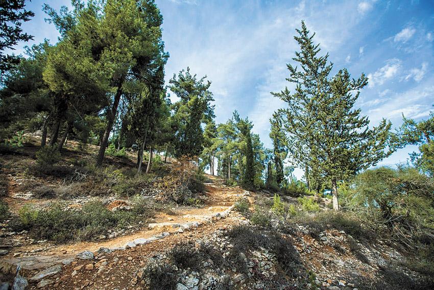 """שביל הארז ביער ירושלים (צילום: באדיבות ארכיון הצילומים של קק""""ל)"""