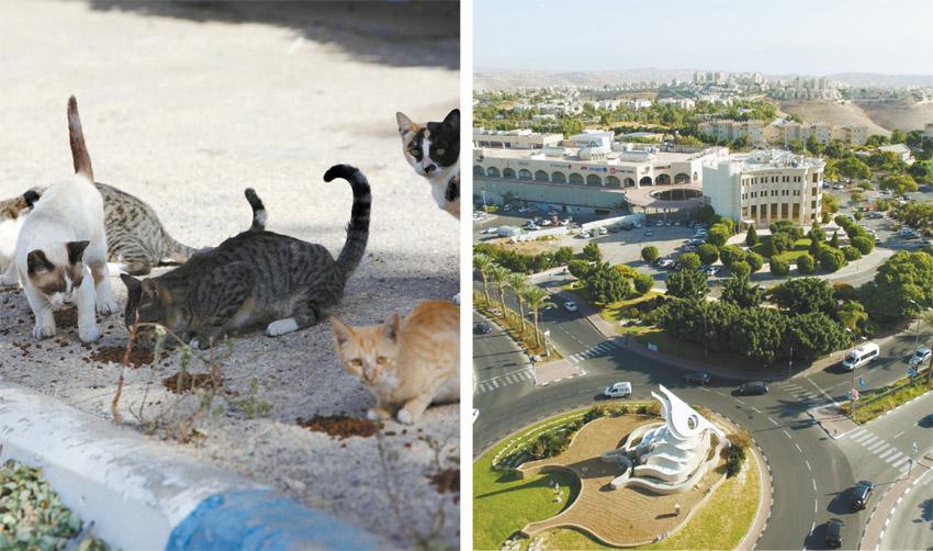 מעלה אדומים, חתולי רחוב (צילומים: דוברות עיריית מעלה אדומים, אליהו הרשקוביץ)