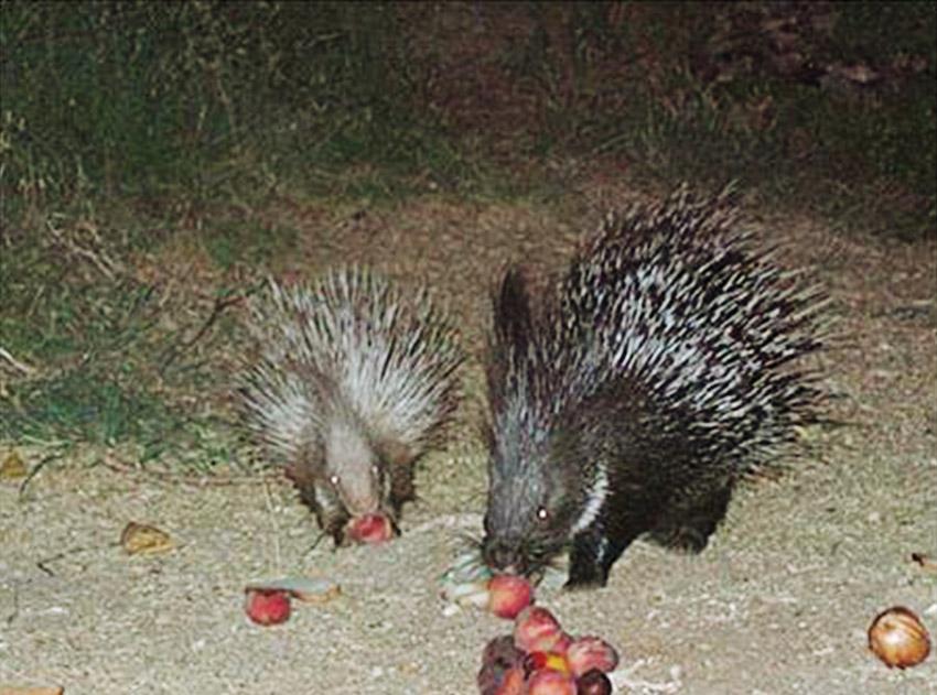 התחנה לחקר ציפורים, דרבנים אוכלים במסתור (צילום: באדיבות התחנה)