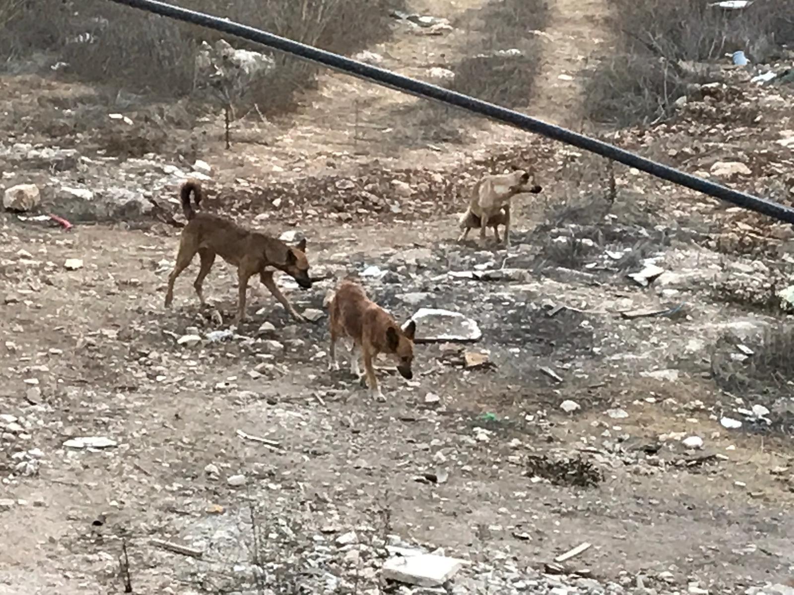 כלבים משוטטים בקטמון (צילום: פרטי)