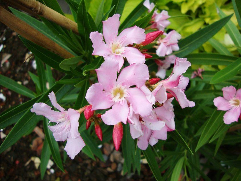 צמח הרדוף (צילום: מתוך ויקיפדיה - Prenn)