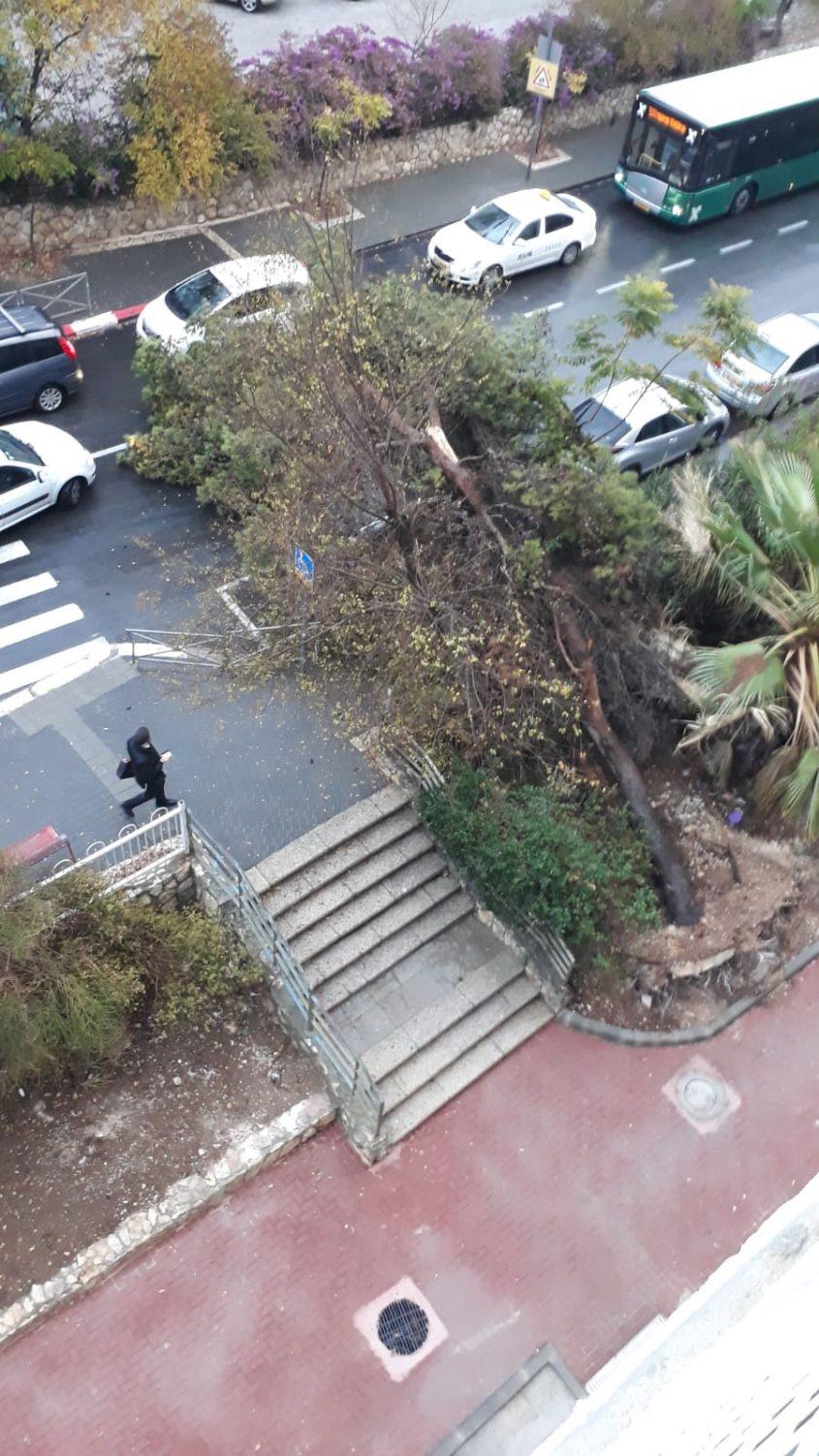 עץ קרס בגבעת מרדכי (צילום: פרטי)