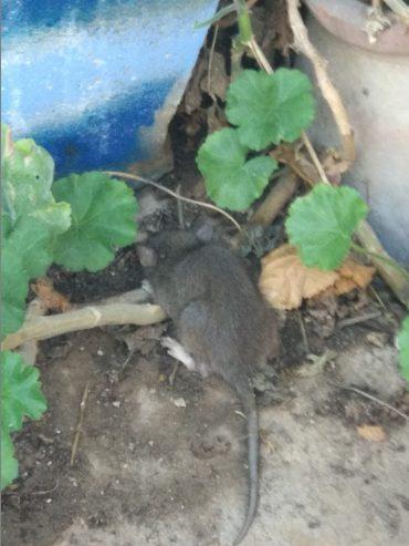 מכת חולדות ועכברים במוסררה (צילומים: אסתר פדידה)