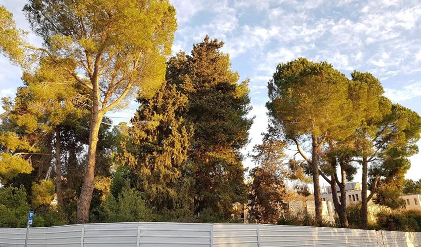 עצים בגבעת רם (צילום: ענת כהן יחסי ציבור)