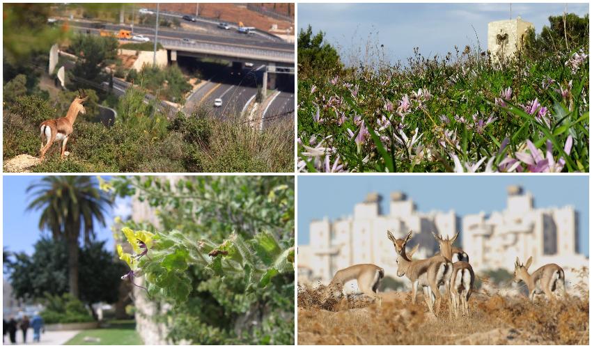 תעודת כבוד: אות הרשות המקומית ניתן לתוכנית המתאר לטבע עירוני בירושלים
