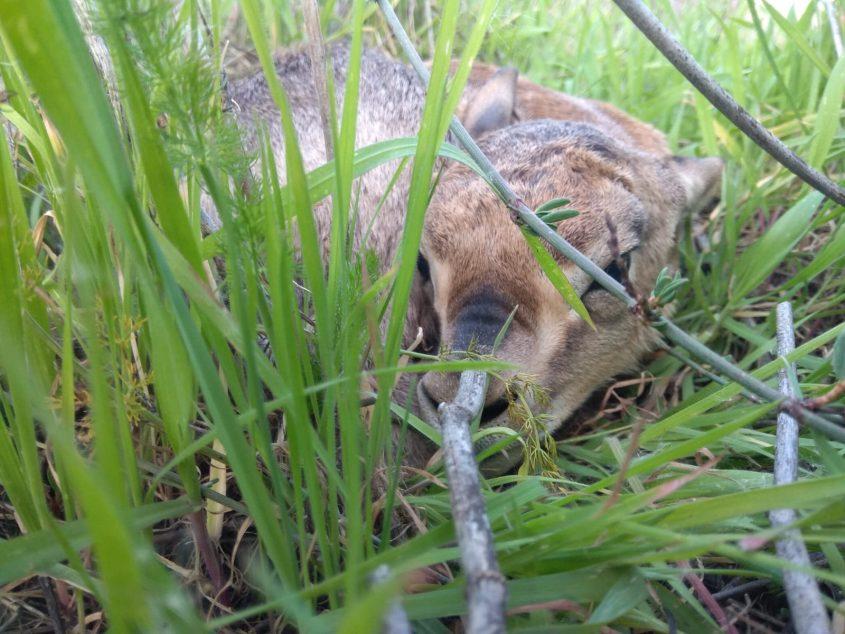 """""""אביב"""" - העופר החדש שנולד בעמק הצבאים, מרץ 2020 (צילום: עומר דראל, החברה להגנת הטבע)"""