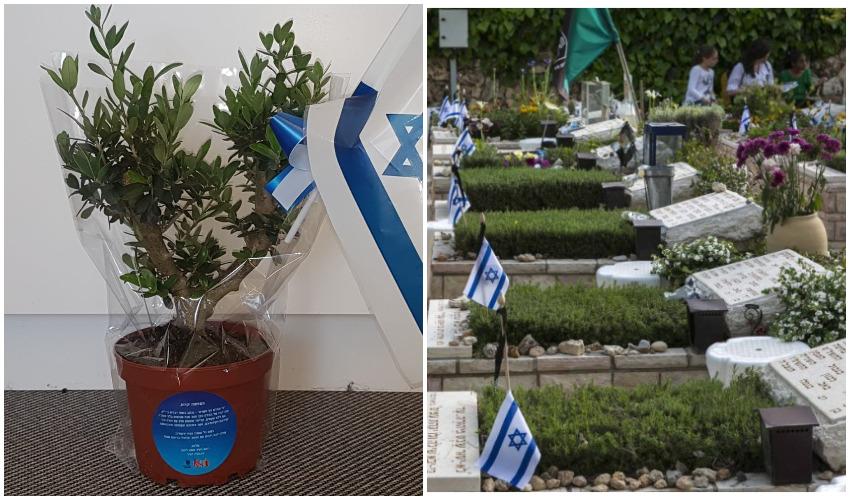 בית הקברות הצבאי בהר הרצל, שתיל עץ הזית שיוענק למשפחות - צילומים אוליבייה פיטוסי, דוברות עיריית ירושלים