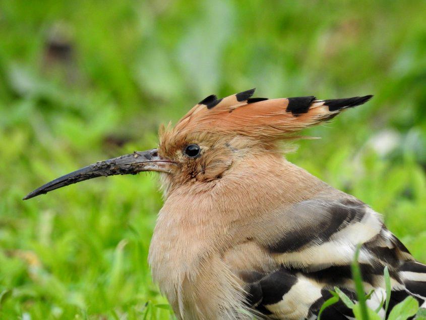 הציפור הלאומית של ישראל – הדוכיפת (צילום: דב גרינבלט, החברה להגנת הטבע)