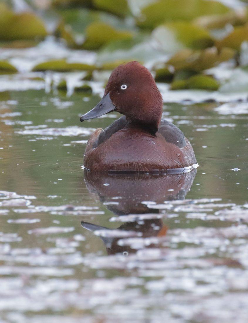 ברווזי השוקולד, החברה להגנת הטבע (צילום: עמיר בלבן, החברה להגנת הטבע)