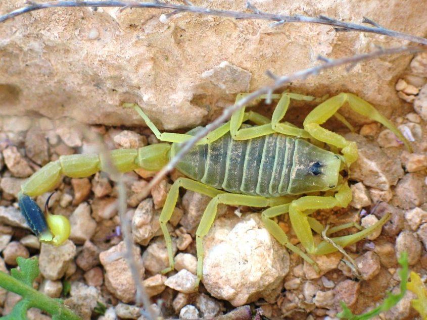 עקרב צהוב (צילום: Ester Inbar, ויקיפדיה)