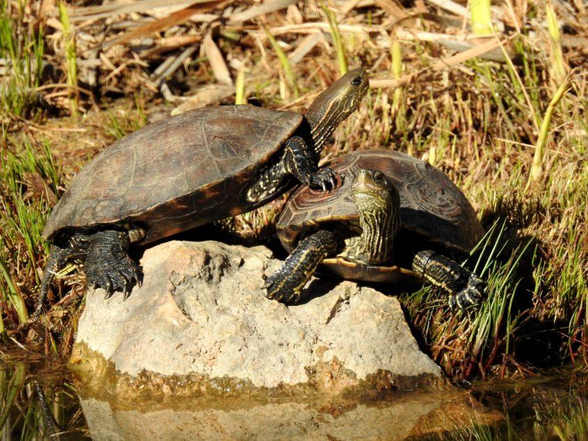 צבים משתזפים בשמש (צילום: דב גרינבלט, החברה להגנת הטבע)