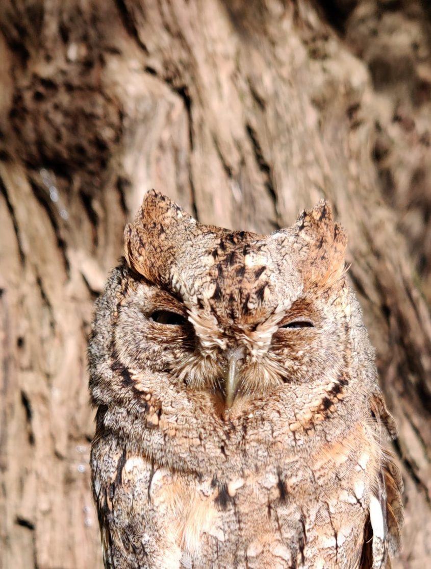 שעיר (צילום: אבנר רינות, החברה להגנת הטבע)