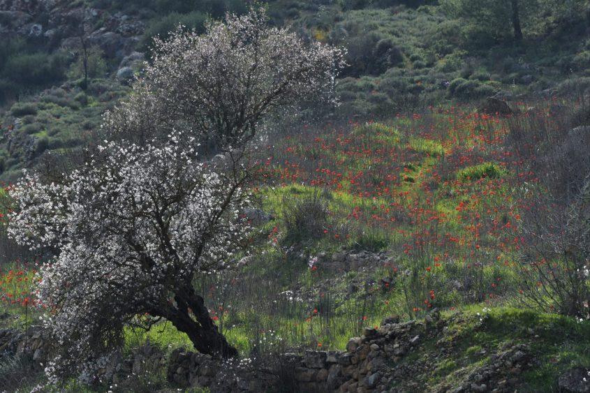 פריחת כלניות ושקדיות, רכס לבן (צילום: דודו בן אור)
