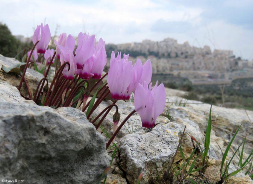 פריחה במורדות הר חומה (צילום: אבנר רינות)