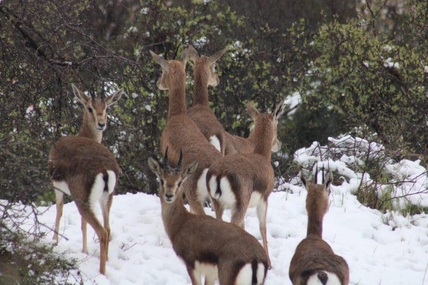 עמק הצבאים, שלג בירושלים 2021 (צילום: יונתן סולר, החברה להגנת הטבע)