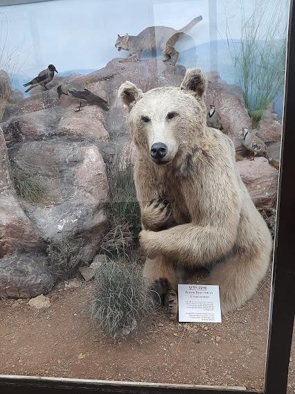 דב מפוחלץ במוזיאון הטבע (צילום: אדם אקרמן)