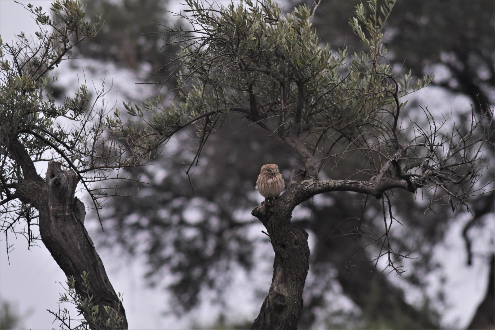 כוס החורבות על עץ זית, הר חומה, אפריל 2021 (צילום: דודו בן אור)