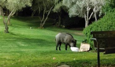 חזיר בר משוטט ברמות (צילום: אורית שוסהיים)