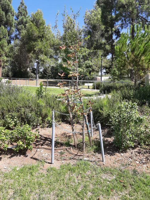 """החוטר מגזע עץ הערמון - שהיה מול בית מחבואה של אנה פרנק ומשפחתה (צילום: ד""""ר אדם אקרמן)"""